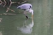 可愛的野鳥~郊野、公園健行隨意掠影看野鳥(四八):0127_0143.jpg