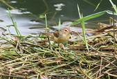 可愛的野鳥―褐頭鷦鶯(學名:Prinia inornata):IMG_6223.JPG