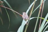 可愛的野鳥―褐頭鷦鶯(學名:Prinia inornata):IMG_6231.JPG