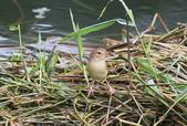 可愛的野鳥―褐頭鷦鶯(學名:Prinia inornata):IMG_6228.JPG
