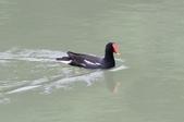 可愛的野鳥~郊野、公園健行隨意掠影看野鳥(四八):0127_0145.jpg