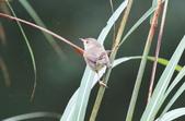 可愛的野鳥―褐頭鷦鶯(學名:Prinia inornata):IMG_6233.JPG