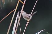 可愛的野鳥―褐頭鷦鶯(學名:Prinia inornata):IMG_6239.JPG