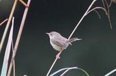 可愛的野鳥―褐頭鷦鶯(學名:Prinia inornata):IMG_6246.JPG