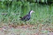 可愛的野鳥~郊野、公園健行隨意掠影看野鳥(四八):0127_0137.jpg