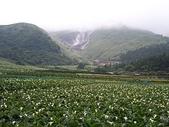 旅遊:陽明山海芋田
