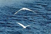 白鷺鷥之舞:白鷺鷥.j