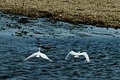 白鷺鷥之舞:白鷺鷥 (14).j