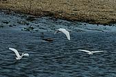白鷺鷥之舞:白鷺鷥 (15).j