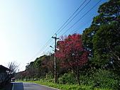 淡水山櫻花況~春櫻初開:P2061626.jpg