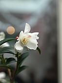 2011百年好合茶花展:P1229969.JPG