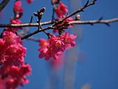 淡水山櫻花況~春櫻初開:P2061651.jpg