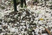 2013 土城桐花,白雪紛飛...落花鋪滿菜園裡~~:IMG_8979.JPG