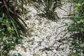 2013 土城桐花,白雪紛飛...落花鋪滿菜園裡~~:IMG_9071.JPG