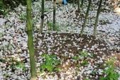 2013 梅雨季前,土城‧最後一場桐花雪~~:IMG_9676.JPG