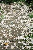 2013 土城桐花,白雪紛飛...落花鋪滿菜園裡~~:IMG_9011.JPG