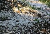 2013 梅雨季前,土城‧最後一場桐花雪~~:IMG_9677.JPG
