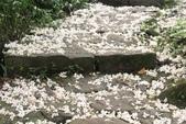 2013 土城桐花,白雪紛飛...落花鋪滿菜園裡~~:IMG_8921.JPG