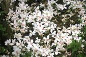 2013 土城桐花,白雪紛飛...落花鋪滿菜園裡~~:IMG_9100.JPG