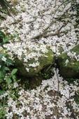 2013 土城桐花,白雪紛飛...落花鋪滿菜園裡~~:IMG_9157.JPG
