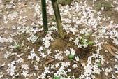 2013 土城桐花,白雪紛飛...落花鋪滿菜園裡~~:IMG_8933.JPG