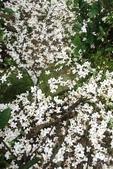 2013 土城桐花,白雪紛飛...落花鋪滿菜園裡~~:IMG_9074.JPG