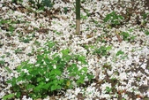 2013 土城桐花,白雪紛飛...落花鋪滿菜園裡~~:IMG_8937.JPG