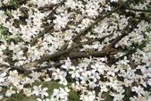 2013 土城桐花,白雪紛飛...落花鋪滿菜園裡~~:IMG_9083.JPG