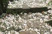 2013 土城桐花,白雪紛飛...落花鋪滿菜園裡~~:IMG_8898.JPG