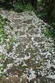 2013 土城桐花,白雪紛飛...落花鋪滿菜園裡~~:IMG_9164.JPG