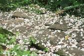 2013 土城桐花,白雪紛飛...落花鋪滿菜園裡~~:IMG_9001.JPG