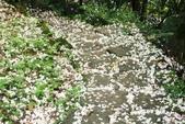 2013 土城桐花,白雪紛飛...落花鋪滿菜園裡~~:IMG_9168.JPG