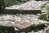 2013 土城桐花,白雪紛飛...落花鋪滿菜園裡~~:IMG_9176.JPG