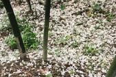 2013 土城桐花,白雪紛飛...落花鋪滿菜園裡~~:IMG_8939.JPG