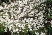 2013 土城桐花,白雪紛飛...落花鋪滿菜園裡~~:IMG_9088.JPG