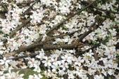 2013 土城桐花,白雪紛飛...落花鋪滿菜園裡~~:IMG_9089.JPG