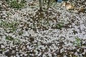2013 梅雨季前,土城‧最後一場桐花雪~~:IMG_9725.JPG