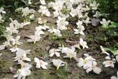 2013 土城桐花,白雪紛飛...落花鋪滿菜園裡~~:IMG_8947.JPG