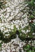 2013 土城桐花,白雪紛飛...落花鋪滿菜園裡~~:IMG_9090.JPG