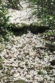 2013 土城桐花,白雪紛飛...落花鋪滿菜園裡~~:IMG_9091.JPG