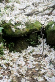 2013 土城桐花,白雪紛飛...落花鋪滿菜園裡~~:IMG_9092.JPG
