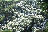 2013 土城桐花,白雪紛飛...落花鋪滿菜園裡~~:IMG_9048.JPG