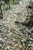 2013 土城桐花,白雪紛飛...落花鋪滿菜園裡~~:IMG_9049.JPG