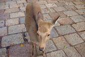 Day 2, 奈良鹿公園‧世界遺產東大寺:DSC05265.JPG