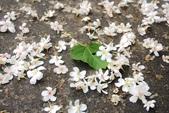 2013 土城桐花,白雪紛飛...落花鋪滿菜園裡~~:IMG_9199.JPG