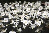 2013 土城桐花,白雪紛飛...落花鋪滿菜園裡~~:IMG_9200.JPG