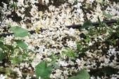 2013 土城桐花,白雪紛飛...落花鋪滿菜園裡~~:IMG_9066.JPG
