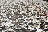 2013 土城桐花,白雪紛飛...落花鋪滿菜園裡~~:IMG_9208.JPG