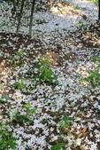 2013 梅雨季前,土城‧最後一場桐花雪~~:IMG_9674.JPG