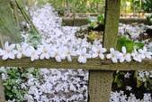 2013 梅雨季前,土城‧最後一場桐花雪~~:IMG_9711.JPG